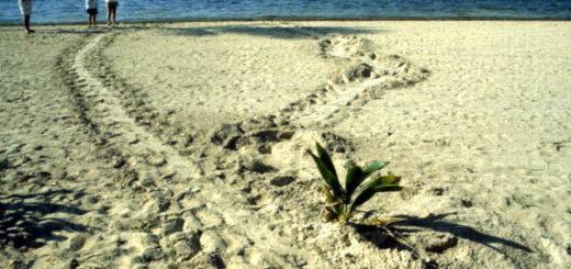 Tortues marchant sur la plage